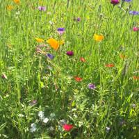 Blumenwiese in Erlenbach